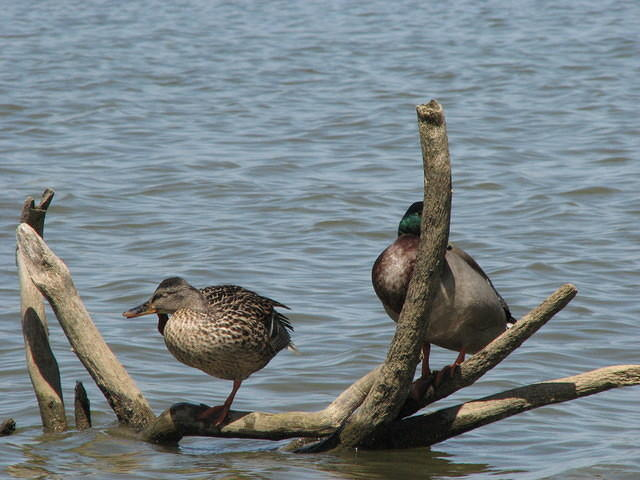 Birds on drift wood in lake, Jacobson Park