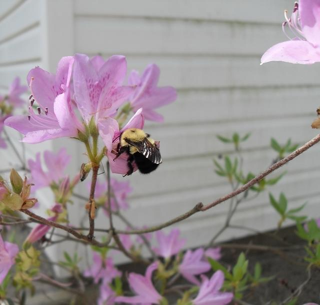 Bumble Bee on Azalea Bush in sunlight 02
