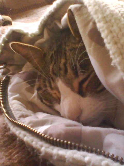 Cat sleeping under blanket