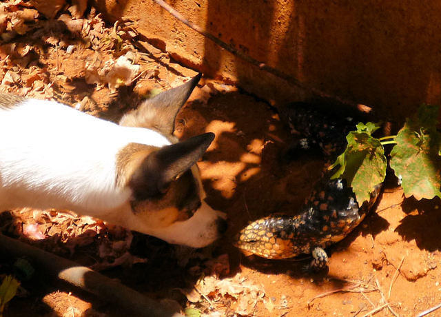 GRINGO DISCOVERS A BOBTAIL IN MY BACKYARD