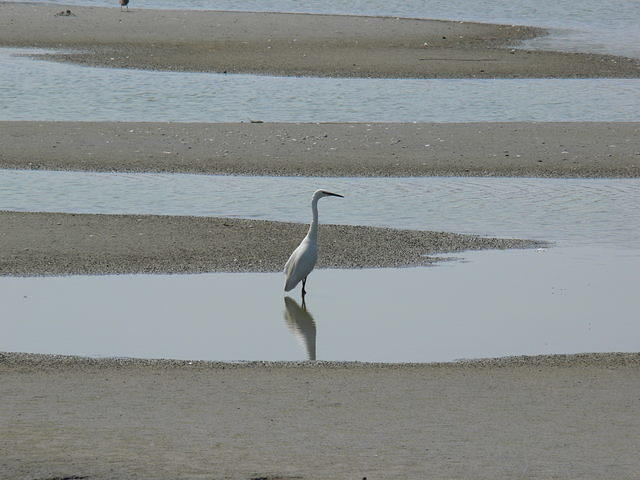 Little Egret, Somme Estuary
