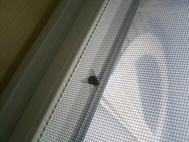 Common House Fly on Screen of Window