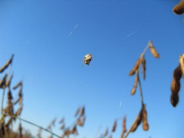 Small spider in soybean field