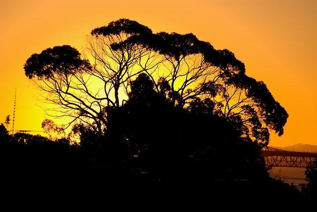 Gum Tree at Sunset