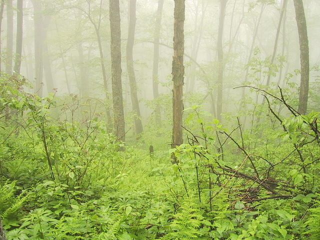 foggy_forest