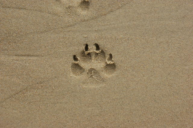 boxer dog footprint in sand