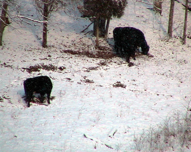 Winter Forage - Cows