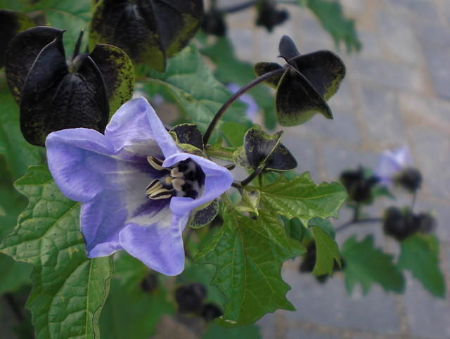 Apple-of-Peru, plant with blue flowers
