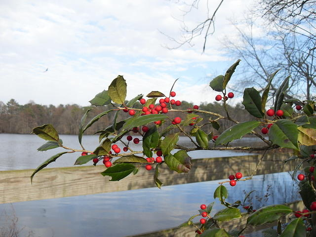 American Holly - Branches with Berries