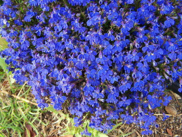 Clump of Blue Flowers