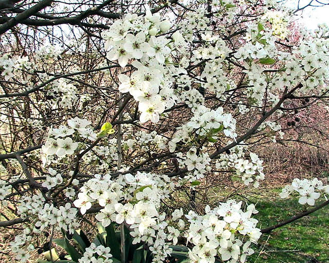 Bradford Pear Tree Blossoms 2