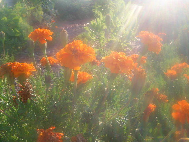 Orange (African) Marigold in sunlight