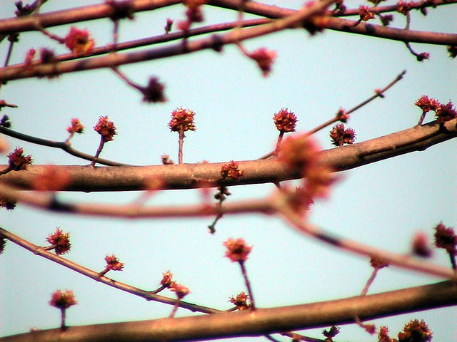 Silver Maple Tree buds