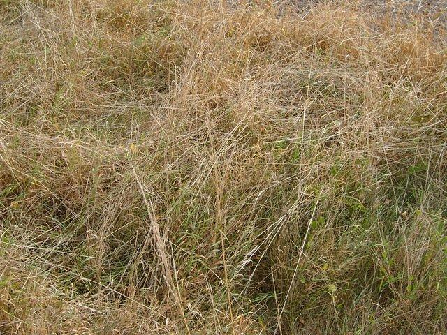 long_brown_grass_TT000029.JPG