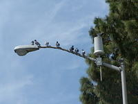 Pigeons on the light pole