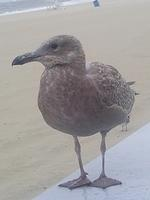 Brown Seagull Striking a Pose