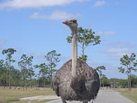 Confronted by Ostrich