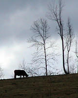 Cow Grazing On Hill