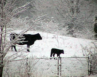 Cows - His First Snowfall