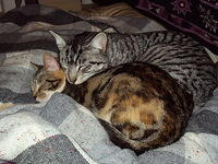 Two tabby cats cuddling each other on rug