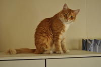 Domestic Ginger Cat Pose - Photographed By Jennifer Burroughs. burroughsdesign.co.nz