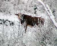 Looking Through The Snowy Bush - Cow