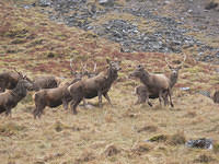 Red Deer in Glencoe