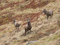 Red Deer Stag, Glencoe