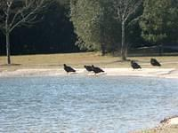 Turkey Vultures at the pond