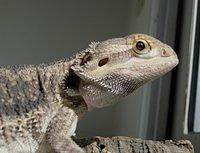 bearded-dragon-closeup-05