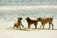 dogs playing in the sand
