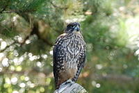 New Zealand Falcon - Falco novaezeelandiae