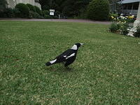 Magpie on lawn, North Sydney, Australia