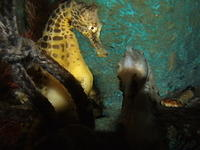 Seahorses, Aquarium of New Zealand, Napier