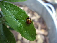 Ladybug sleeping on leaf