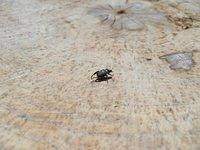 Small Black beatle on tree stump