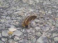 Tent Caterpillar - Crossing Road