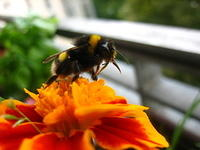 Bumblebee on an orange flower 02