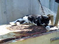 Black & white tabby cat (Puss Puss) lounging on rusty fridge in the sun