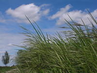 Tall grass, sky and clouds