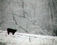 A Snowy World For This Calf - Cow