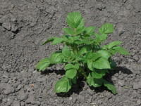 Potato plant in soil