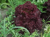 Plant Red Kale in soil