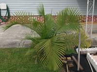 Small Palmetto bush
