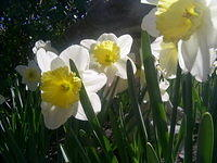 Daffodils in the sunlight...