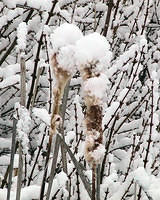 Snow Covered Cattails - 1