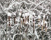 Snow Covered Cattails - 2