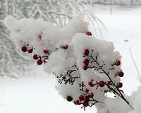 Snow Covered Nandina Berries - 1