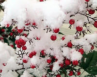 Snow Covered Nandina Berries - 2