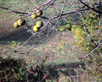 Walnuts About To Fall Off Tree
